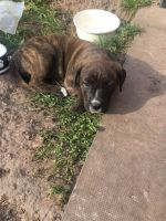 American Bulldog Puppies for sale in New York, NY 10012, USA. price: NA