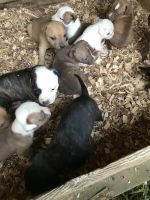 American Bulldog Puppies for sale in Barbourville, KY, USA. price: NA