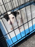 American Bulldog Puppies for sale in Temple Hills, MD, USA. price: NA