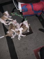 American Bulldog Puppies for sale in St. Louis, MO, USA. price: NA