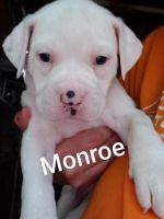 American Bulldog Puppies for sale in Spring Hill, TN, USA. price: NA