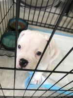 American Bulldog Puppies for sale in Miami, FL, USA. price: NA
