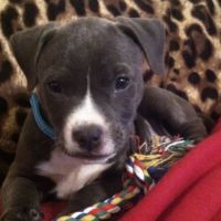 American Bulldog Puppies for sale in Lancaster, PA, USA. price: NA