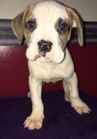 American Bulldog Puppies for sale in Pikeville, NC 27863, USA. price: NA