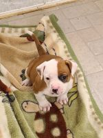 American Bulldog Puppies for sale in San Francisco, CA, USA. price: NA