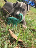 American Bulldog Puppies for sale in Conroe, TX, USA. price: NA