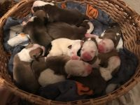 American Bulldog Puppies for sale in Smyrna, TN, USA. price: NA