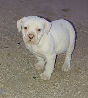American Bulldog Puppies for sale in Buckeye, AZ, USA. price: NA