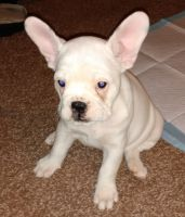 American Bulldog Puppies for sale in Reynoldsburg, OH, USA. price: NA
