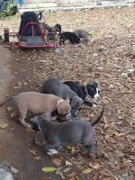 American Bulldog Puppies for sale in Atlanta, GA 30315, USA. price: NA