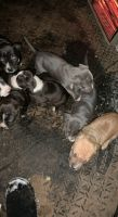 American Bulldog Puppies for sale in Van Buren, AR 72956, USA. price: NA