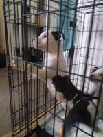American Bulldog Puppies for sale in Kalamazoo, MI, USA. price: NA