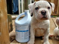American Bulldog Puppies for sale in Hannibal, NY 13074, USA. price: NA