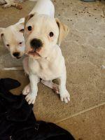 American Bulldog Puppies for sale in Huntsville, AL, USA. price: NA