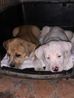 American Bulldog Puppies for sale in McKinney, TX, USA. price: NA