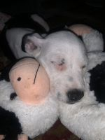 American Bulldog Puppies for sale in Brantley County, GA, USA. price: NA