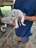 American Bulldog Puppies for sale in Hawkinsville, GA 31036, USA. price: NA