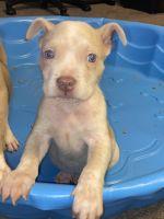American Bulldog Puppies for sale in Odessa, TX, USA. price: NA