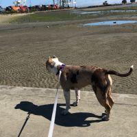 American Bulldog Puppies for sale in San Francisco Bay Area, CA, USA. price: NA