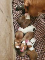 American Bulldog Puppies for sale in Thayer, MO 65791, USA. price: NA