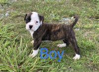 American Bulldog Puppies for sale in Jennings, LA 70546, USA. price: NA