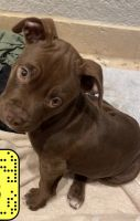 American Bully Puppies for sale in Holiday, FL, USA. price: NA