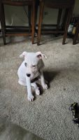 American Bully Puppies for sale in Cookeville, TN, USA. price: NA