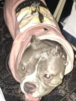 American Bully Puppies for sale in Brockton, MA, USA. price: NA