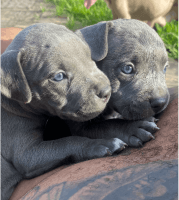American Bully Puppies for sale in South Houston, TX, USA. price: NA