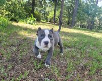 American Bully Puppies for sale in Lecanto, FL, USA. price: NA