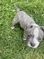 American Bully Puppies for sale in Sharon, MA, USA. price: NA