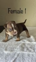 American Bully Puppies for sale in Tempe, AZ 85282, USA. price: NA