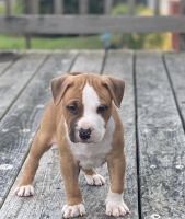 American Bully Puppies for sale in Calvert County, MD, USA. price: NA