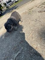 American Bully Puppies for sale in Southern Maryland, MD, USA. price: NA