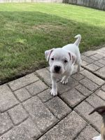 American Bully Puppies for sale in Jacksonville, FL 32277, USA. price: NA