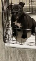 American Bully Puppies for sale in Doral, FL, USA. price: NA
