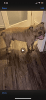 American Bully Puppies for sale in Milwaukee, WI, USA. price: NA