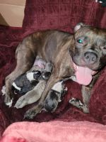 American Bully Puppies for sale in Roseville, MI 48066, USA. price: NA