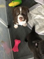 American Bully Puppies for sale in Missouri City, TX, USA. price: NA