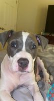 American Bully Puppies for sale in 3710 Falcon Crest Dr, Louisville, KY 40219, USA. price: NA