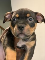 American Bully Puppies for sale in Killeen, TX, USA. price: NA