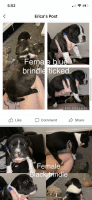 American Bully Puppies for sale in Pittsburgh, PA, USA. price: NA