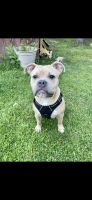 American Bully Puppies for sale in Latham, NY 12110, USA. price: NA