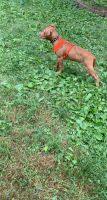 American Bully Puppies for sale in Norwich, CT, USA. price: NA