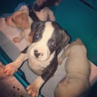 American Bully Puppies for sale in Richmond, VA, USA. price: NA