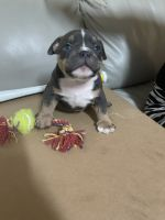 American Bully Puppies for sale in Las Vegas, NV 89138, USA. price: NA