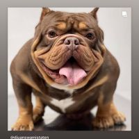 American Bully Puppies for sale in West Allis, WI, USA. price: NA