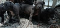 American Bully Puppies for sale in Columbus, GA 31906, USA. price: NA