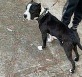 American Bully Puppies for sale in 1800 Longcreek Dr, Columbia, SC 29210, USA. price: NA