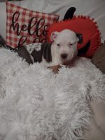 American Bully Puppies for sale in Claremont, NH, USA. price: NA